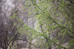 Branches of fresh leaves rain Royalty Free Stock Image
