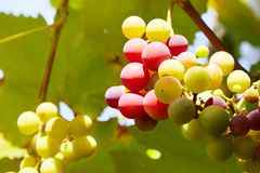 Branches of fresh red wine grapes growing in the farm with light of sun. royalty free stock photography