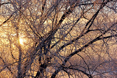 Branches in frost on the background of the setting sun. Stock Photography