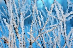 Branches in frosty weather Royalty Free Stock Image