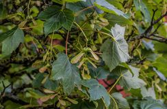 Sycamore Tree. The branches and fruit of the sycamore tree stock photos