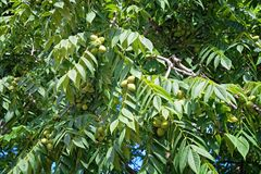 Fruits and leaves of a tree Manchurian nut in the nature. Branches and fruits of manchurian walnut. A huge tree with a lot of large leaves and fruits Royalty Free Stock Photography