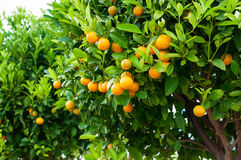 Branches with the fruits of the tangerine trees Stock Photos