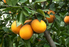 Branches with the fruits of the tangerine trees Royalty Free Stock Images