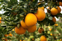 Branches with the fruits of the tangerine trees Royalty Free Stock Photo