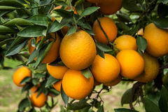 Branches with the fruits of the tangerine trees Stock Image