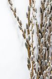 Branches of full-blown gray willow along the edge, space for text is provided royalty free stock photo