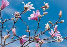 Branches full of Loebner Magnolia Blooms a Stock Photography