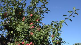 Branches full of red ripe apples on background of blue sky. Zoom out. 4K stock video