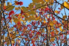 Branches full of red ripe sorb in autumn time. Branches full of red ripe sorb growing on tree in autumn with blue sky at the background. The fruits looks like Royalty Free Stock Photos