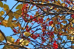 Branches full of red ripe sorb growing on tree. In autumn with blue sky at the background. The fruits looks like rowanberry Royalty Free Stock Photos