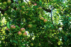 Branches Full of Ripening Apples Stock Photos