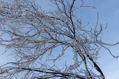 Branches fully encapsulated in ice Royalty Free Stock Image