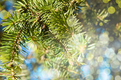 Branches fur-tree. Royalty Free Stock Image