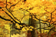Branches of golden leaves. Maple tree branch covered with golden leaves in the fall Royalty Free Stock Photography