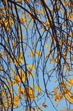 Branches and golden leaves of an autumn tree Stock Image