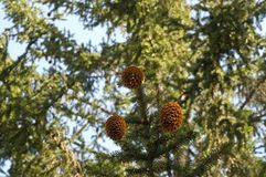 branches gran arkivfoton