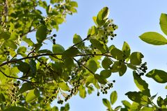 Branches with green berries and leaves on chokeberry or aronia bush in spring garden stock image