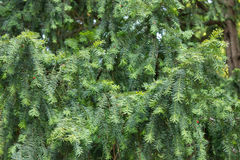 Branches of green conifer Stock Image