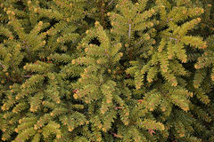 Branches of green fir tree Stock Photos
