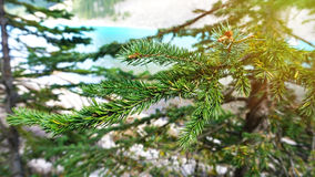 Branches of green fir-tree Stock Images