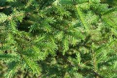 Branches green fir tree Royalty Free Stock Photos
