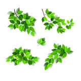 Branches with green fresh leaves Stock Photo