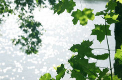 Branches with green leaves Stock Images