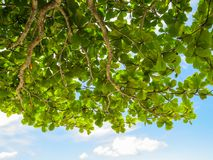 Branches of green leaves against the blue sky. Branches of green leaves against the blue sky on bright summer day Royalty Free Stock Photos