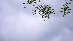 Branches of Green Leaves against blue sky at cloudy day, slow motion shot. 50 FPS stock video