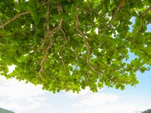 Branches with green leaves against clear sky. View of branches with green leaves against the sky on clear summer day Royalty Free Stock Photography