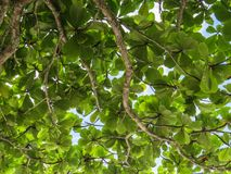 Branches with green leaves against the sky. Branches of trees with green leaves against the sunny sky Royalty Free Stock Photography