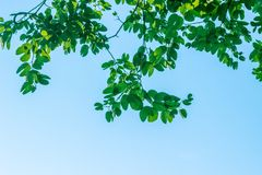 Branches with green leaves. With blue sky background Stock Image
