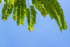Branches with green leaves. With blue sky background Royalty Free Stock Photo