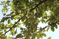 Branches with green leaves royalty free stock photography