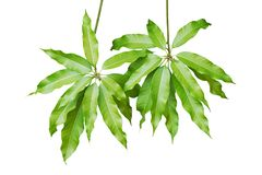 Branches with Green Leaves of Mango Tree Isolated on White Background. Branches with Fresh Green Leaves of Mango Tree Isolated on White Background royalty free stock photo
