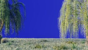 Branches with green leaves of weeping willow and leaves fluttering in the wind in front of a blue screen. 3D Rendering. Branches with green leaves of weeping vector illustration