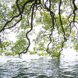 Branches of the green maple trees. Over the Xi Hu lake at China in the mist Stock Photo