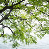 Branches of the green maple trees. Over the Xi Hu lake at China in the mist Royalty Free Stock Image