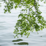 Branches of the green maple trees. Over the Xi Hu lake at China in the mist Royalty Free Stock Images