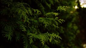 Branches with green needles of conifer swaying in the wind close-up
