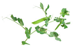 Branches of green pea Royalty Free Stock Photography