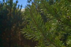 Branches of green pine glisten in the sun.  royalty free stock photos
