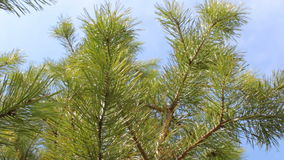 Branches of green pine tree background blue sky clouds stock footage