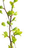 Branches with green spring leaves royalty free stock photography
