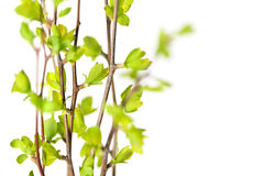 Branches with green spring leaves Stock Photography