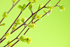Branches with green spring leaves Royalty Free Stock Photo