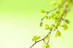Branches with green spring leaves Royalty Free Stock Photos