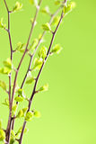 Branches with green spring leaves Royalty Free Stock Images
