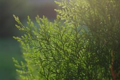 Branches of green thuja. Tree in the evening light close-up on a blurred dark green background Stock Photos